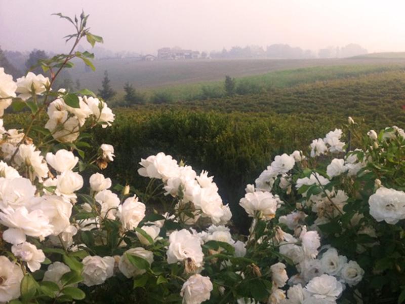 rose-iceberg-floravilla-giardino-monocolore-bianco